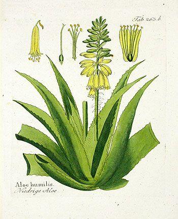 Aloe|Ferdinand Vietz Botanical Prints 1800