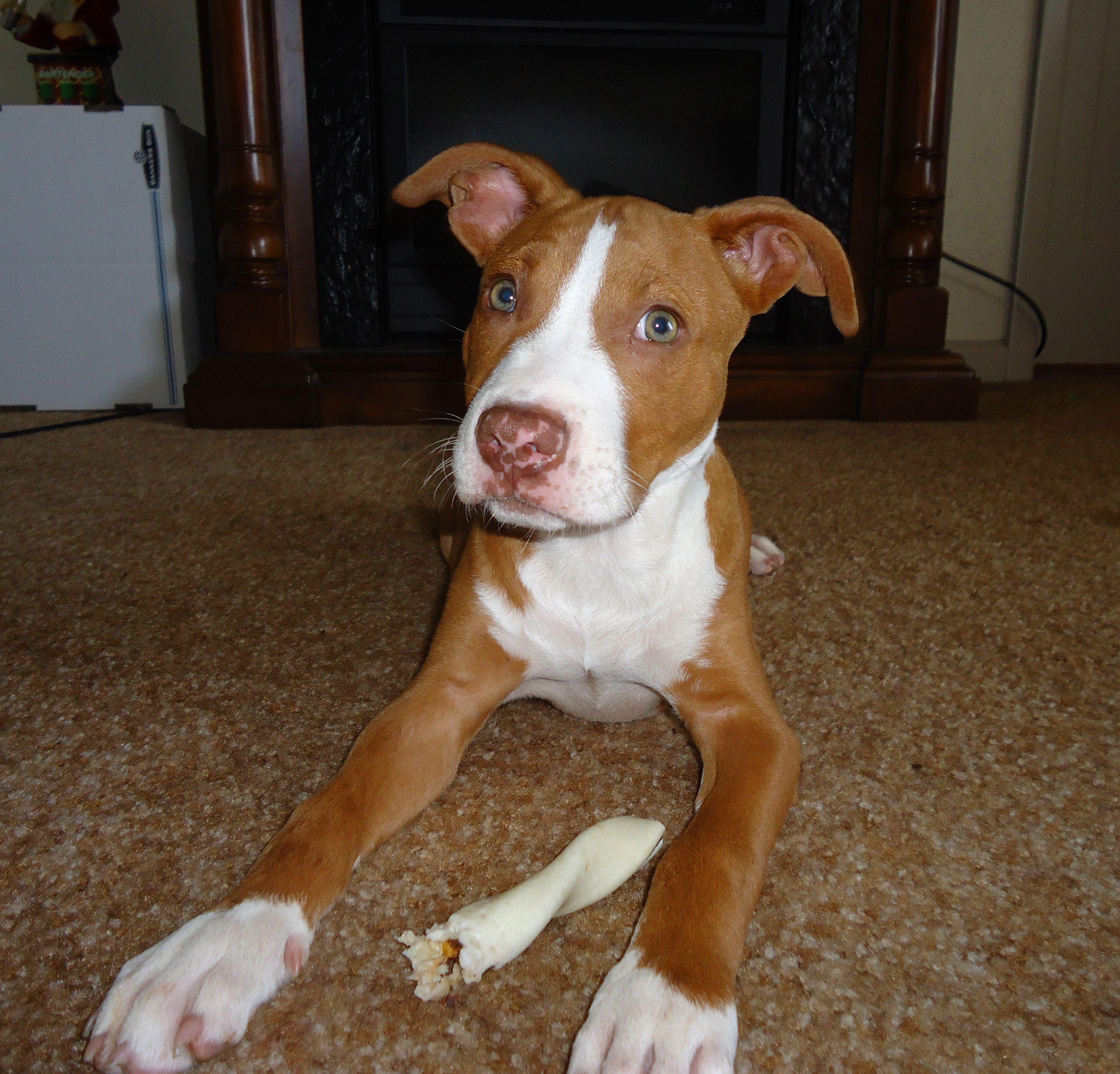 @Lauren's new pitbull puppy :) What a cutie pie!