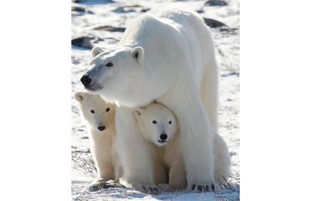 Canada's not following polar bear policies, says watchdog