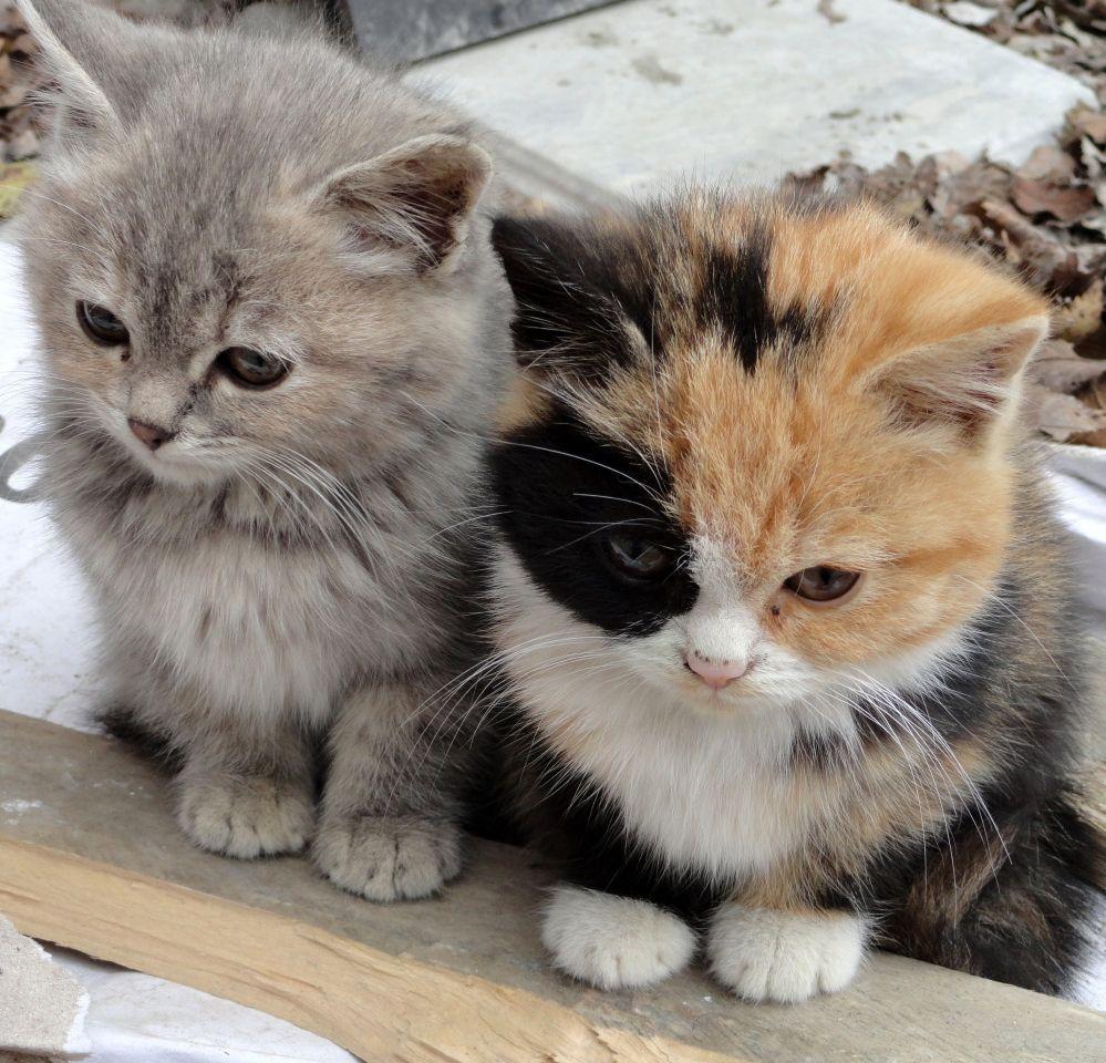 baby kitties fluffy calico love it Pinterest