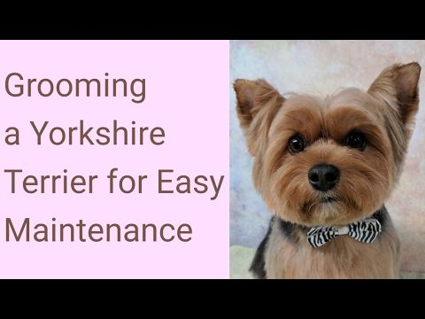 Grooming A Yorkshire Terrier For Easy Maintenance Youtube