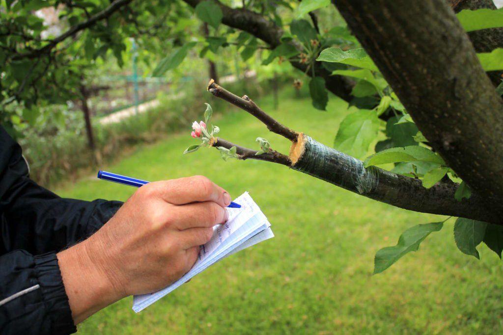 Apfelbaum Veredeln