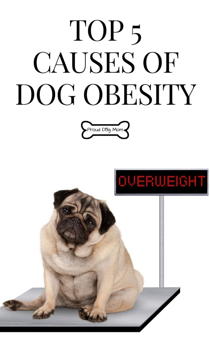 Overweight Dogs Can Benefit From The Green Bean Diet Overweight