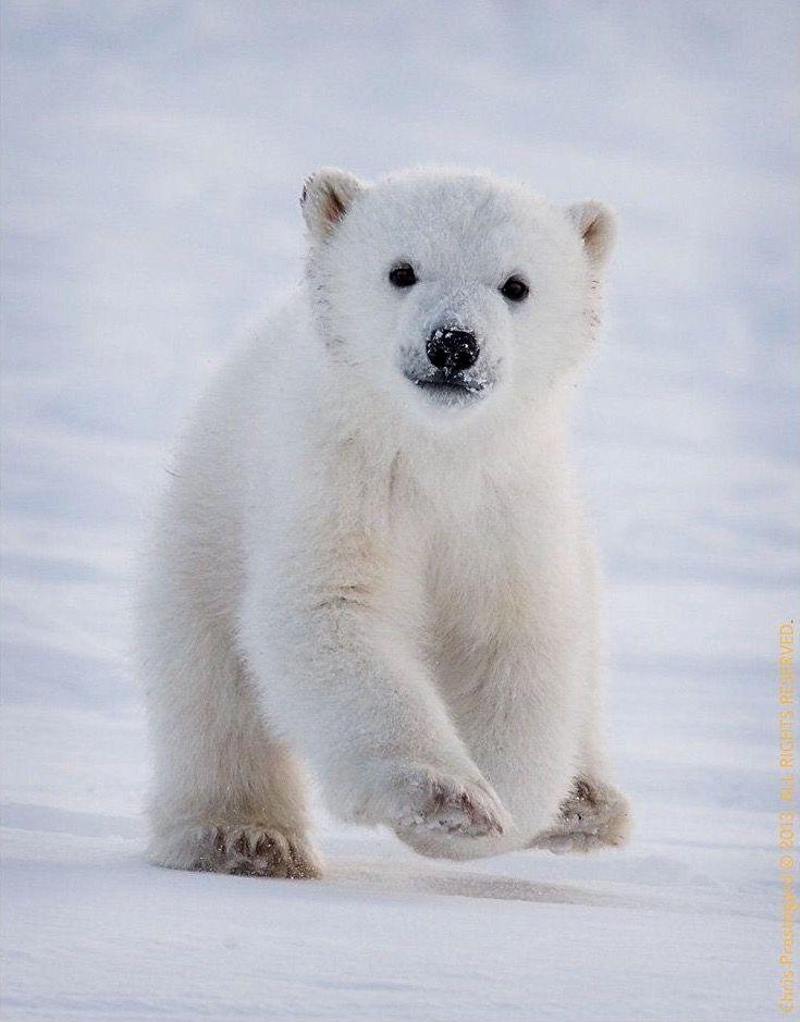 Polar bear cub running to his mom in Hudson Bay, Canada ~ by Chris Prestegard