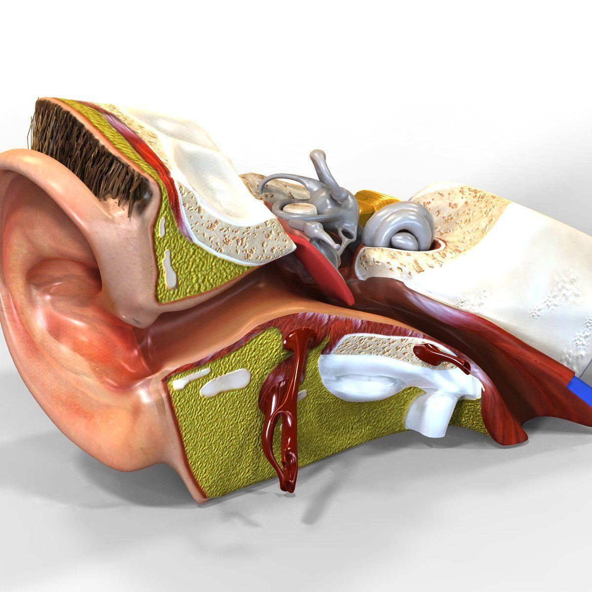 Human Ear Anatomy #max#maya#lightwave#consist | Human ear ...