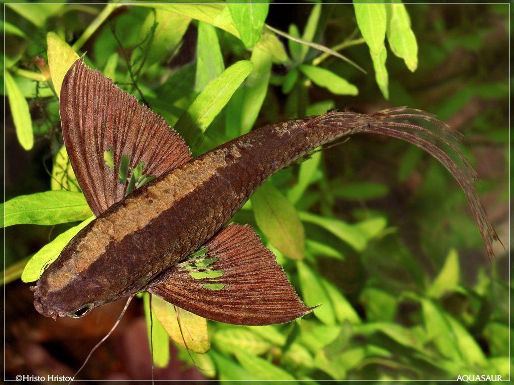 Freshwater aquarium fish oddballs - African Butterfly Fish Greek Freshwateroddball Freshwaterafrican Freshwaterfreshwater Tankdream
