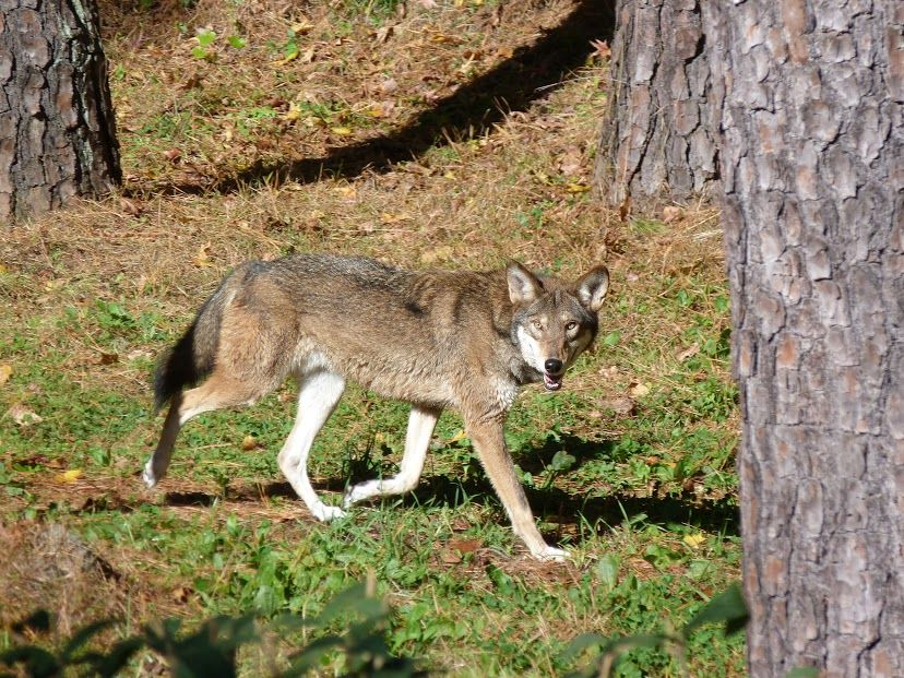 A red wolf trots through its wooded habitat at the Museum of