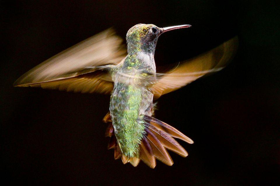 Hummingbirds or Hummingbugs? Hummingbird, Birds, Animals