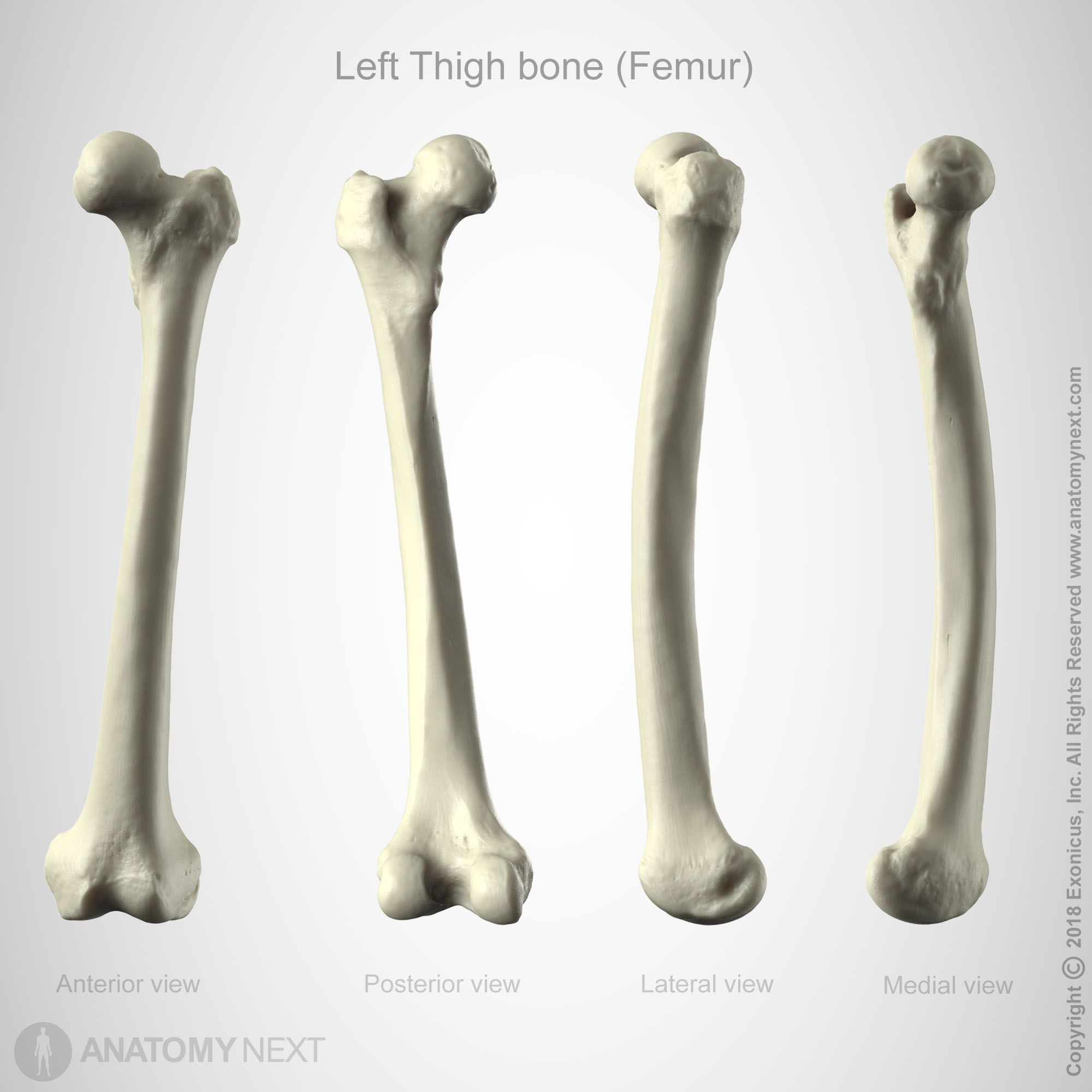 Anatomy 3danatomy Art Anatomynext Femur Bone Anatomy Next