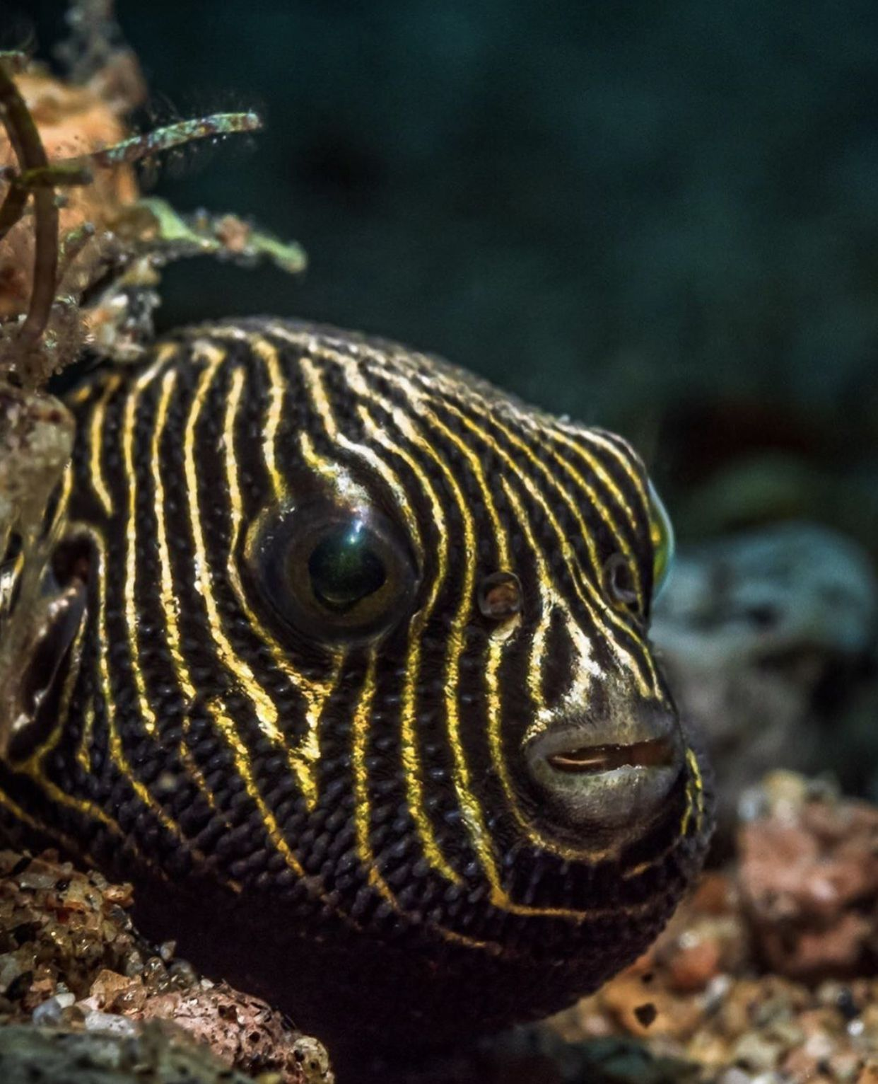 Z E B R A Did You Know The Pufferfish Star Pufferfish Aka Arothron Stellatus Can Expand Its Body Extremely Quickl Dive Resort Fish Pet Aquarium Fish
