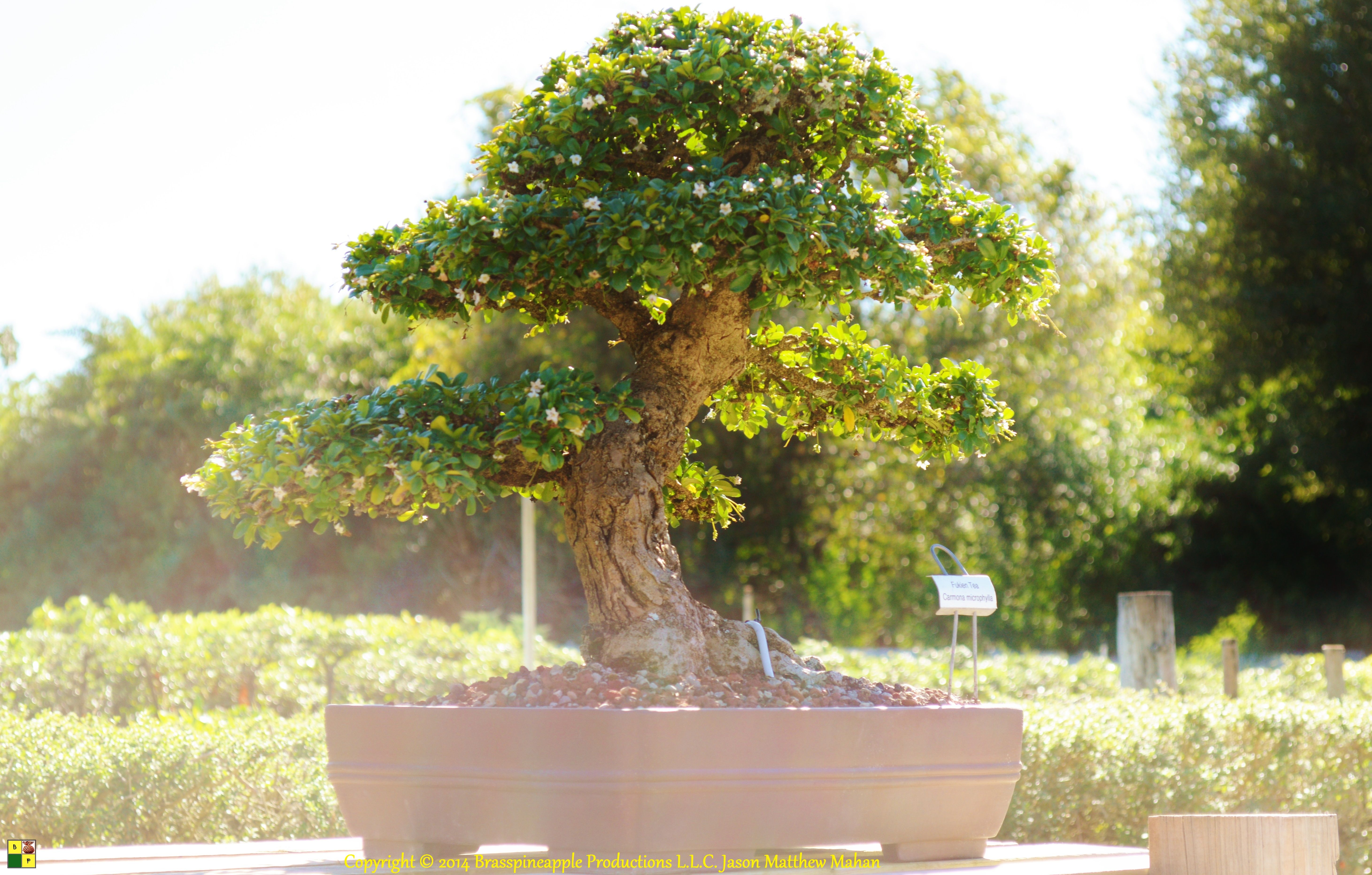 Ien Tea Bonsai Tree Wigerts Nursery North Fort Myers Florida U S A