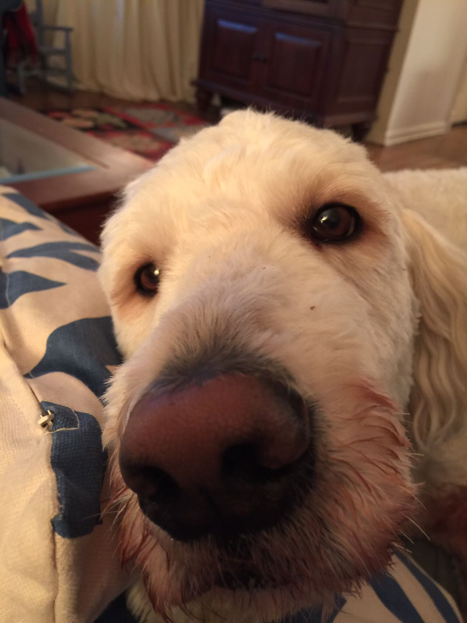 Goldendoodle Puppies Charlotte Nc