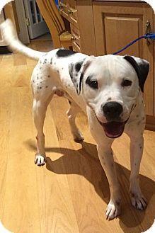 Thomasville, NC - Dalmatian/Pit Bull Terrier Mix. Meet **Curtsey Listing** - Digit, a dog for adoption. http://www.adoptapet.com/pet/11741836-thomasville-north-carolina-dalmatian-mix