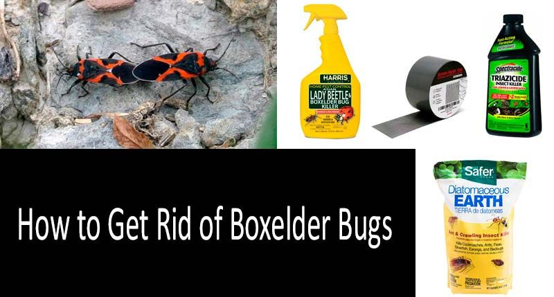 How To Get Rid Of Boxelder Bugs Pinterest Bug Control And Sprays