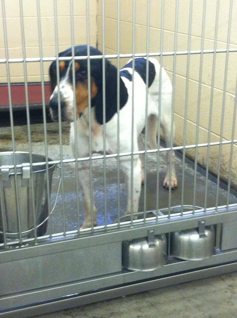 Treeing Walker Coonhound M Named Dusty In Pikeville Ky Pike