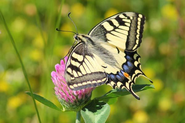 Tiger Swallowtail Caterpillar Pollinator Friendly Gardening We Know It S Important To Provide Flowers That