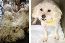 50 Maltese Dogs Rescued From West Virginia Hoarder Rescue Dogs