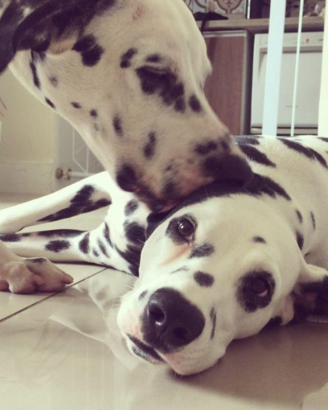 Dalmatian Puppies For Sale In Naivasha Kenya