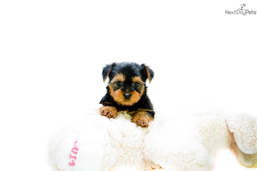 Teacup Jeremy Www Affordablepup Com Yorkshire Terrier Yorkie Puppy For Sale Near Columbus O With Images Yorkie Puppy Yorkshire Terrier Puppy Yorkie Yorkshire Terrier