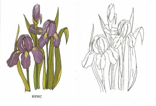 Раскраска цветок ирис с образцом | Раскраски, Ирисы и Цветы