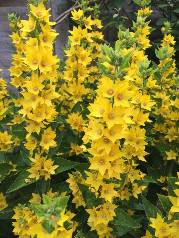 Yellow loosestrife lysimachia punctata hardy perennial plant that yellow loosestrife lysimachia punctata hardy perennial plant that grows 61 centimeters tall or mightylinksfo