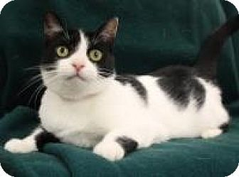 Blackwood Nj Domestic Shorthair Meet London A Cat For