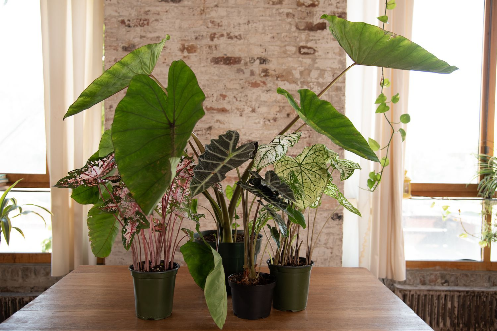 Learn How to Grow and Care for Elephant Ear #elephantearsandtropicals Elephant ear plants are tropical but can be overwintered indoors in cold climates. Learn how to grow and care for them with these helpful tips. #elephantearsandtropicals
