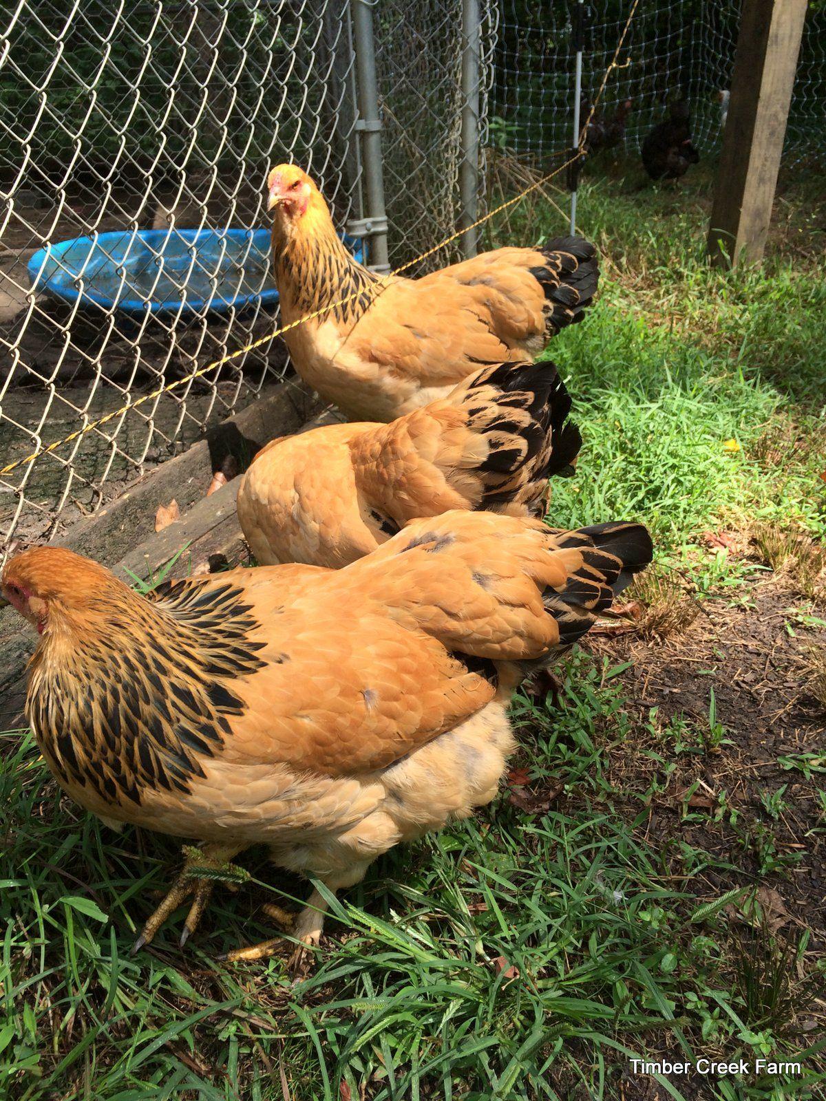 The Brahma Chicken – Raising a Breed