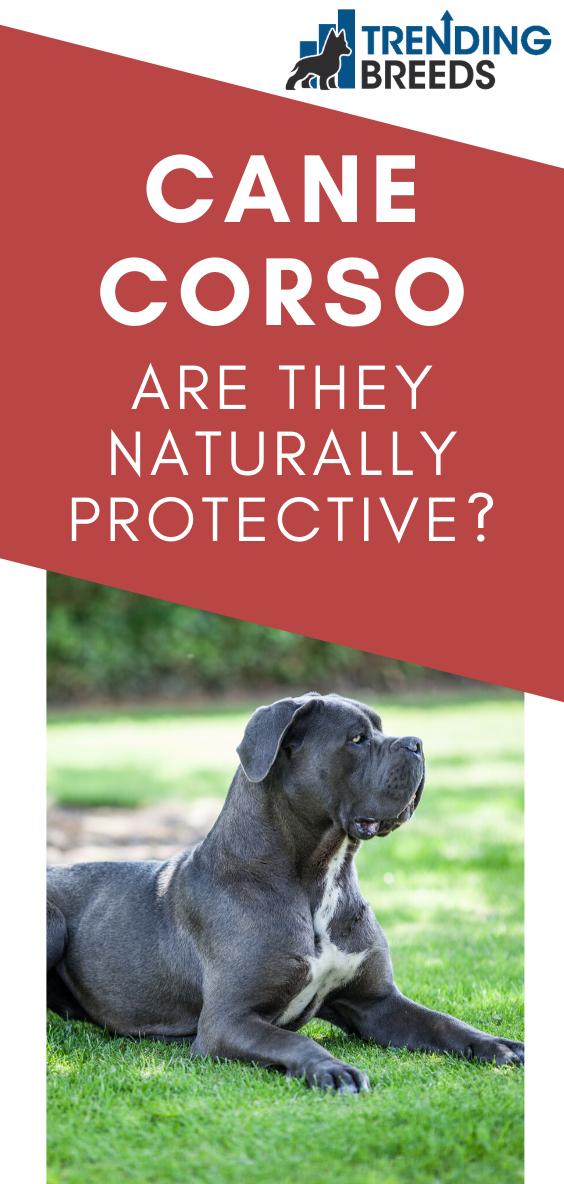 Are Cane Corsos Naturally Protective In 2020 Cane Corso Cane Corso Dog Corso Dog