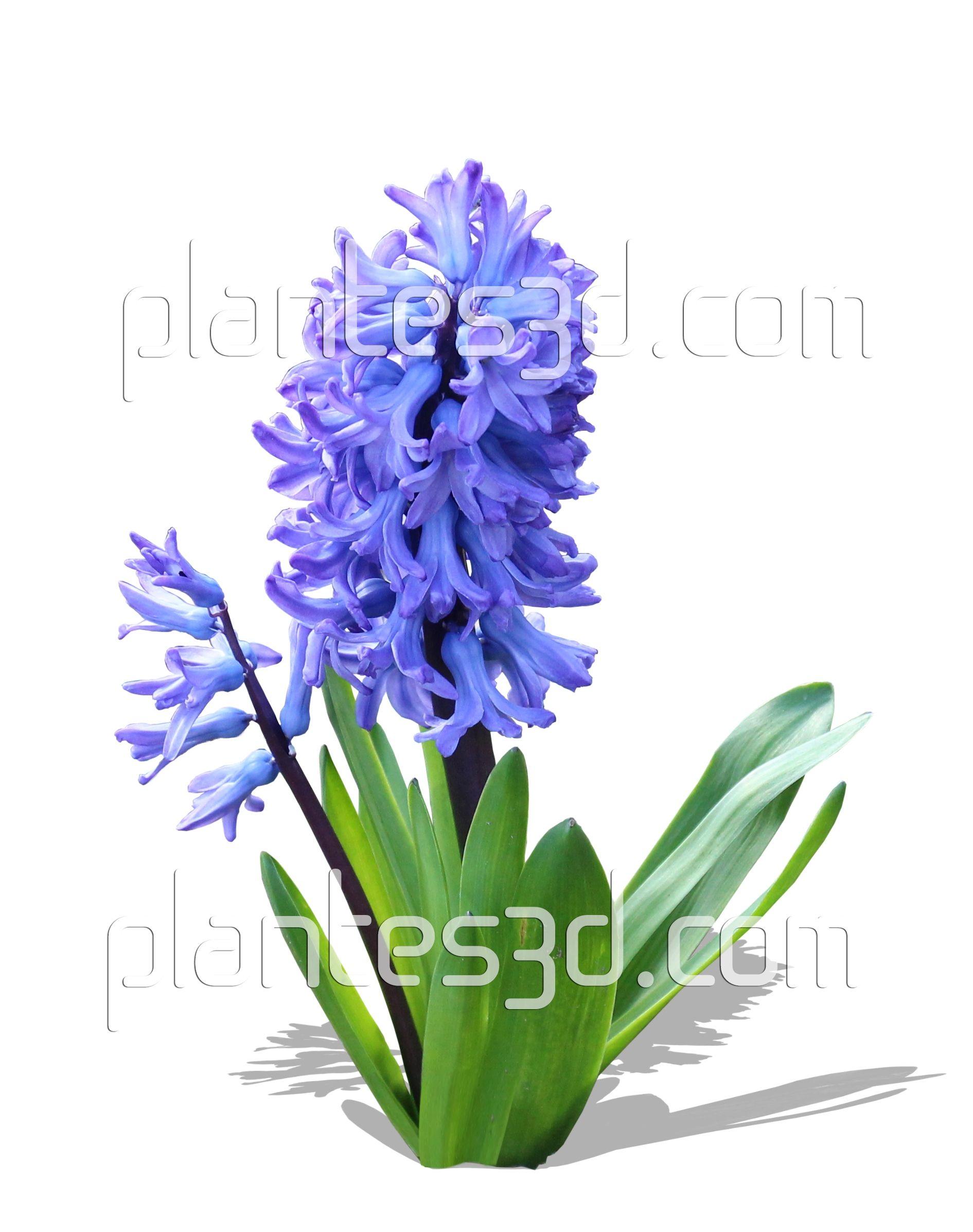Free cutout flowers image d tour e gratuite hyacinthus bulbe de jacinthe png bulbes - Bulbe de jacinthe ...