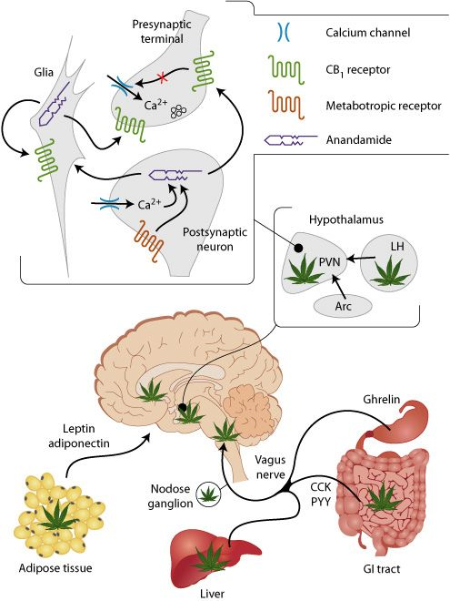 the human body and cannabis: understanding our endocannabinoid, Muscles