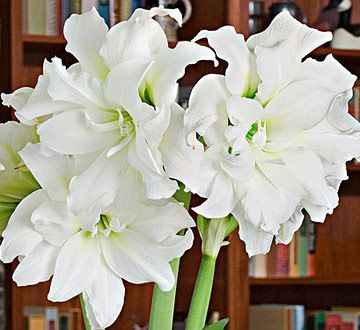 Amaryllis in Time for the Holiday #amaryllisdeko Amaryllis in Time for the Holiday #amaryllisdeko