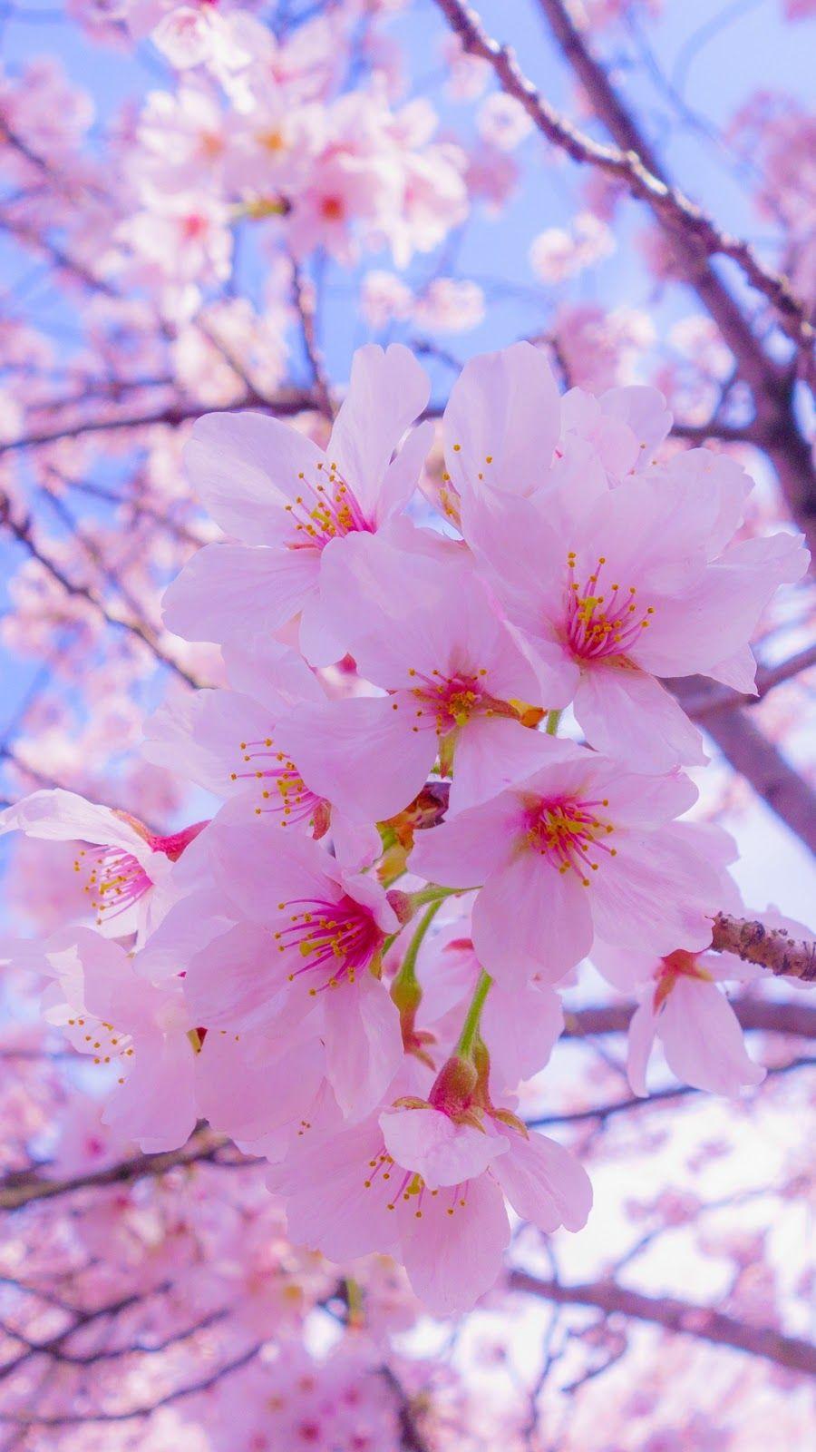 Cherry Blossom Cherry Blossom Wallpaper Flower Lockscreen Flower Phone Wallpaper