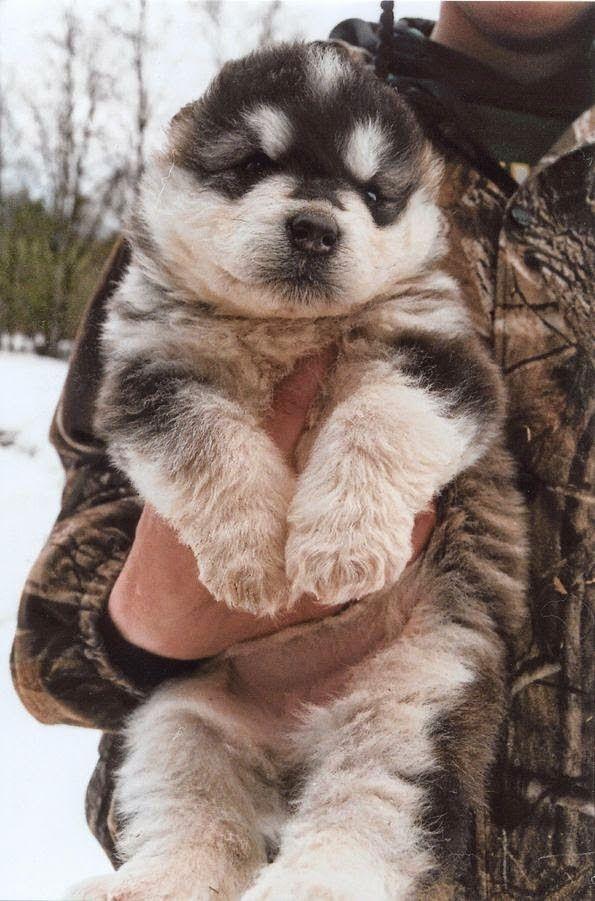 Must see Alaskan Malamute Chubby Adorable Dog - 53efe85f7f93ff32027b2ca28902b3fa  Perfect Image Reference_652972  .jpg