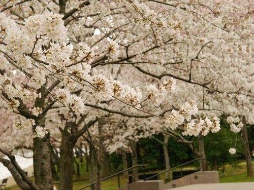 Washington Dc Cherry Blossom Trees Oh So Beautiful Paper Cherry Blossom Tree Garden Trees White Cherry Blossom