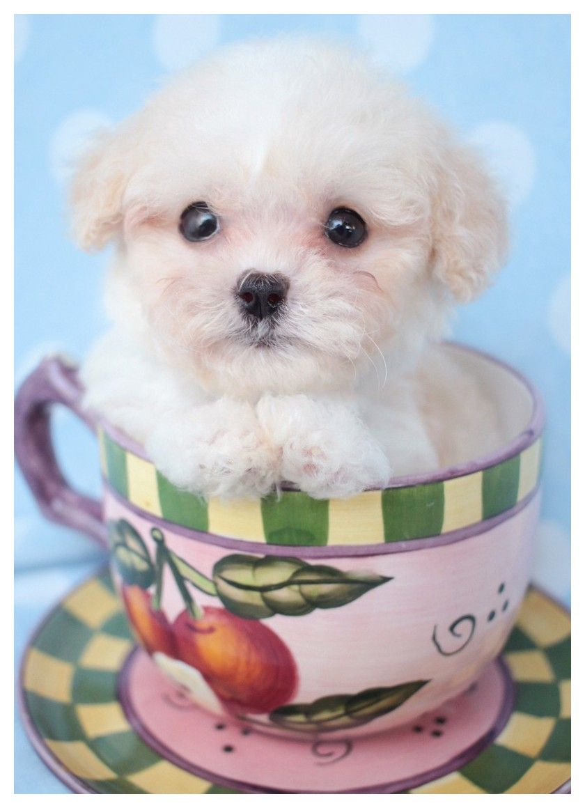 Want Advice On Dogs, This Is For You Toy poodle puppies