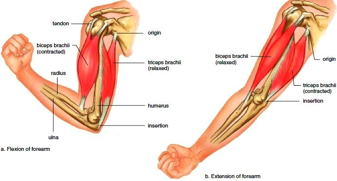explain the relationship between origin insertion and action of skeletal muscles