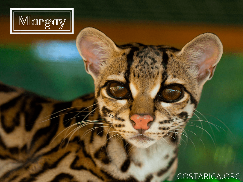 Su Cute This Is A Costa Rican Margay A Small Wild Cat Native In Central And South America Wild Cats Small Wild Cats Endangered Animals