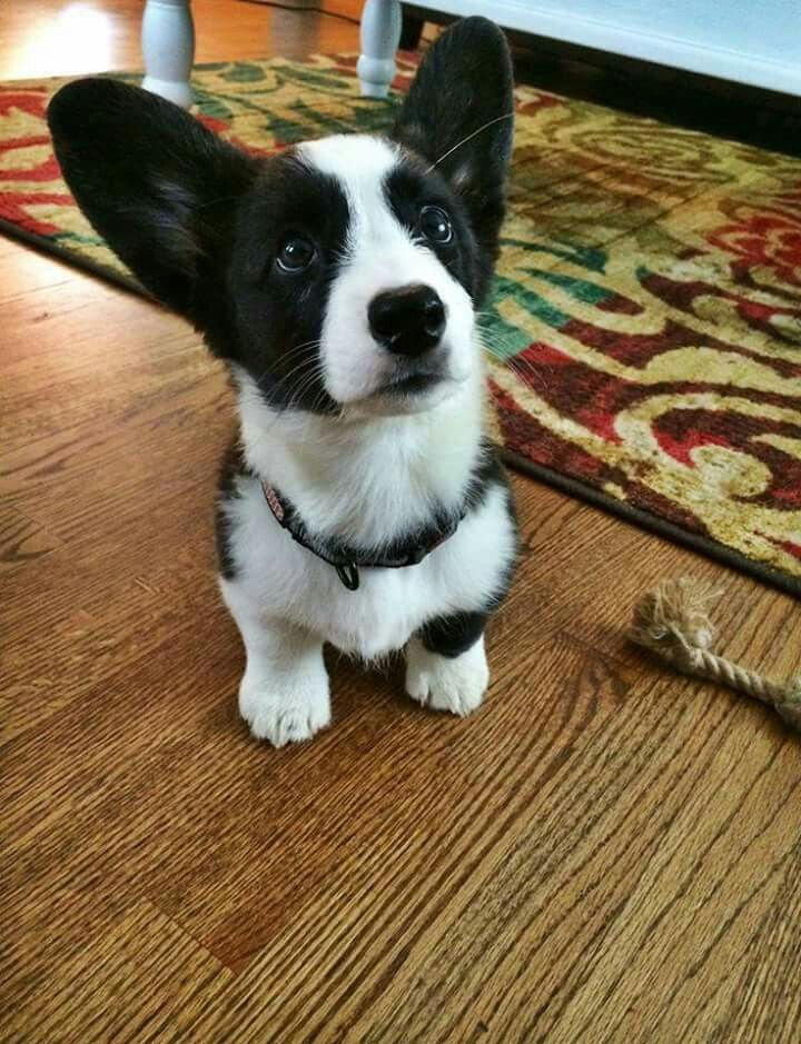 Pin By Tammy Egley On Corgis With Images Corgi Cute Dogs