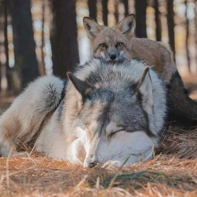 Картинки лисы с волком
