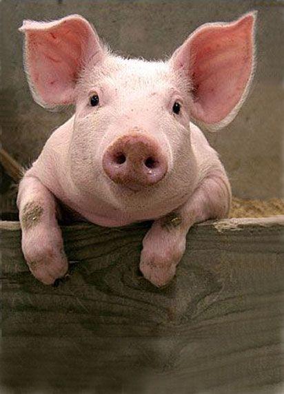 Cochon trop mimi animaux de la ferme pinterest trop mimi mimi et cochons - Image de cochon mignon ...