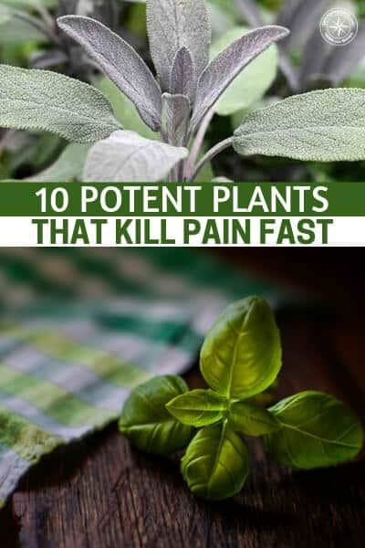 10 Potent Plants That Kill Pain Fast is part of Natural healing remedies, Natural home remedies, Plants, Herbalism, Herbal medicine, Healing herbs - There is a collection of pain relievers growing in the world around us  Here are 10 potent plants that kill pain fast    Click to find out!