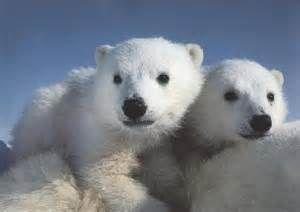 polar bear cubs - Bing Images