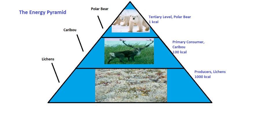 Arctic Tundra Ecosystem Project The Energy Pyramid
