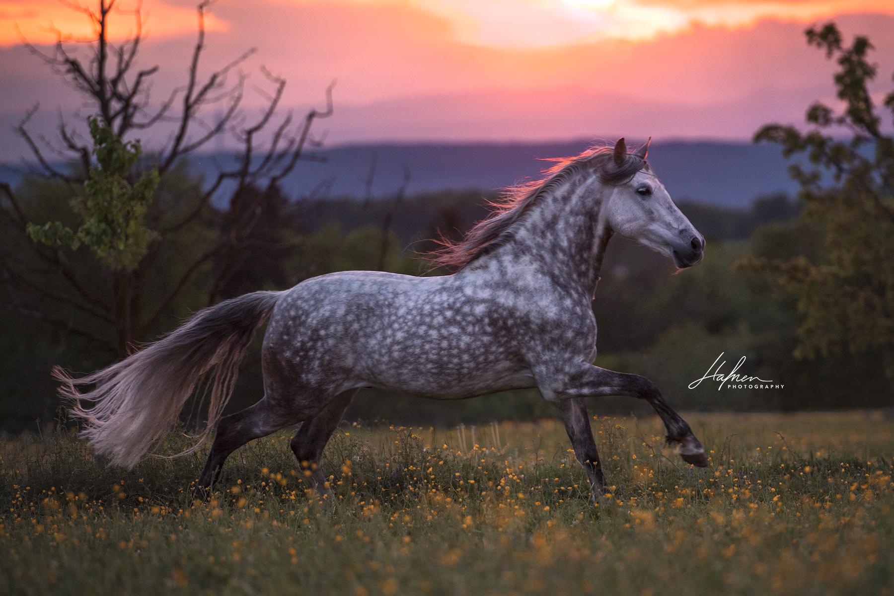 Andalusier Wallach Galoppiert Im Sonnenuntergang Uber Die Wiese Pre Schimmel Apfelschimme Apfelschimmel Pferde Pferde Fotografie Pferde Hintergrundbilder