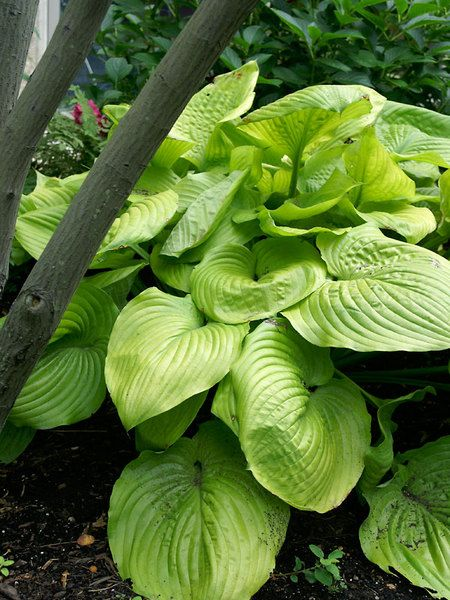 Yellow Green Hosta Sum And Substance Is A Large Sun Tolerant Beauty For The Edge Of Shady Area Height Tall 3 4 In Flower Plant 30 36 Apart