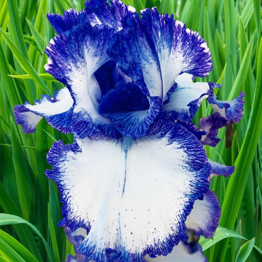 Breck S Bareroot Mariposa Autumn Reblooming Iris 76003 In 2020 Flower Garden Plans Winter Plants Fall Plants