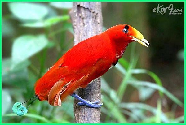 Burung Cendrawasih Cantik Yang Ada Di Indonesia Burung Cantik Burung Kecantikan