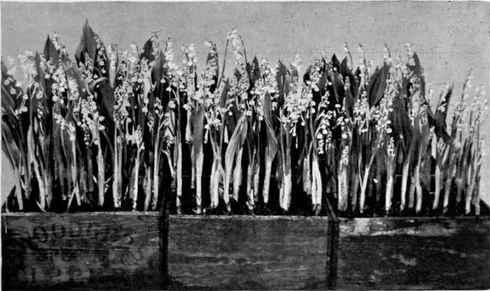 Growing with plants: The Forgotten Christmas Flower - Lily of the Valley. Boxes of florist Lily of the Valley in a 1902 image