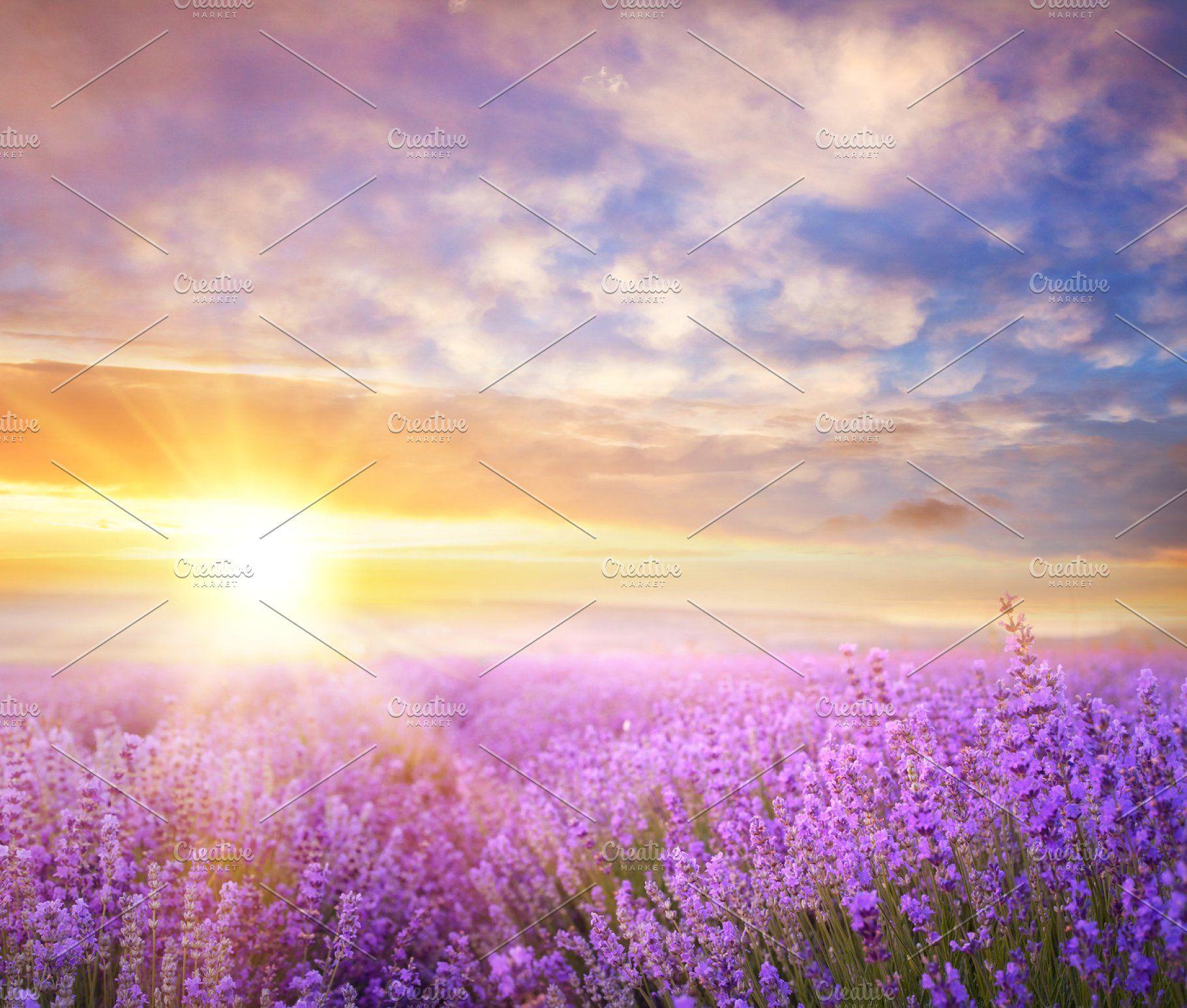 Sunset lavender field. Lavender fields, Sunset landscape